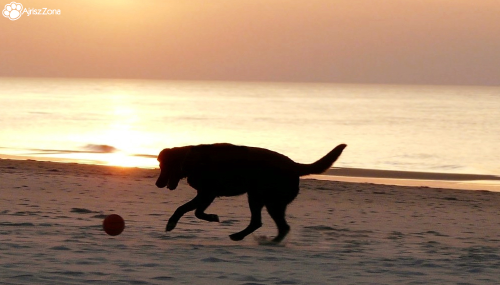 kulawizna u psa labradora