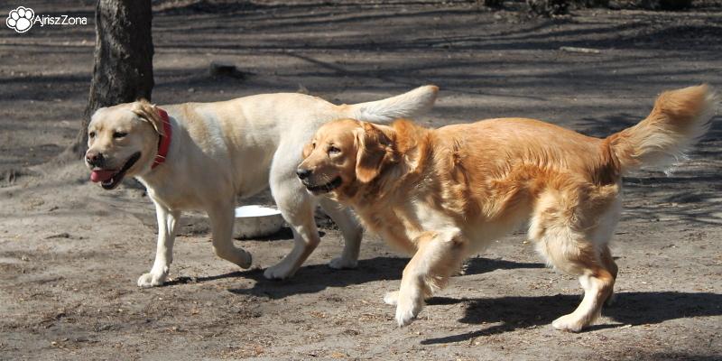 Po spotkaniu retrieverów na wybiegu dla psów