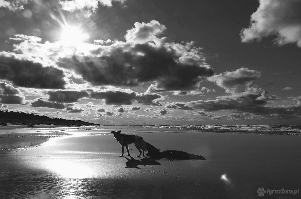 fotografia psów ajriszzona