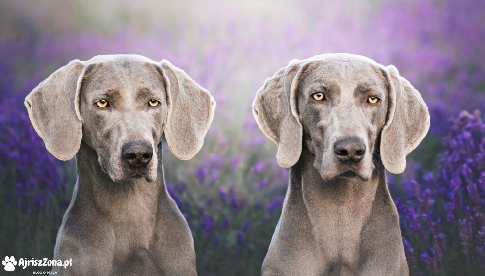 Sesja zdjęciowa z psami w lawendzie